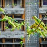 The 'Birdman' of Chennai Feeds Up to 4,000 Wild Green Parakeets Daily from His Home