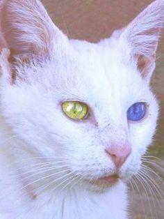 45ac08271b1ead Art Van Kedisi pets Turkish Van Cats