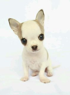 I am in love with this adorable baby chi. I would love to aford adding one like this to my family.