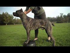 CANE CORSO: A DOG LOVER'S INTRODUCITION - YouTube
