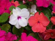 Learn how to plant, grow, and care for impatiens flowers from The Old Farmer's Almanac.