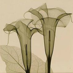 X-Ray of Two Lilies - Stephen Meyers