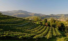 Italy's Valpolicella vineyards, just outside Verona. Top 10 tips. Photograph: John Brunton