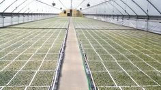 Tobacco greenhouse getting greener