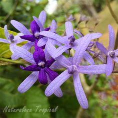 La flor Machiguá, Petra volubilis