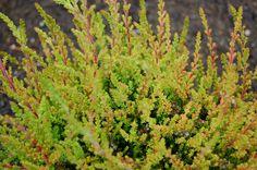'Spring Torch' Summer Heather (Calluna vulgaris)