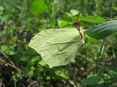 Butterfly | Gonepteryx rhamni