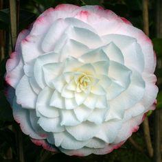 """Camellia japonica """"Amazing Graces"""""""