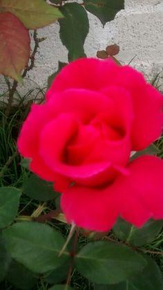 Mi rosa fucsia, con un aroma riquisimo