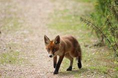 Fox Cub Cute Fox, Foxes, Cubs, Friends, Artwork, Painting, Animals, Inspiration, Amigos