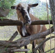 How to Raise Goats for Milk & Cheese