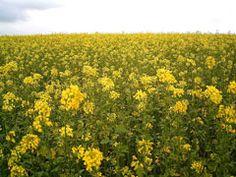 Brassica napus Colza,  Rape. ... CONDIMENT .... OIL  .... from plants!