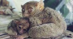 Aw, mama and baby Tarsier