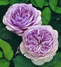 David Austin Lavender Rose this rose would look lovely in a white garden with the deep violet rose Reine De Violet