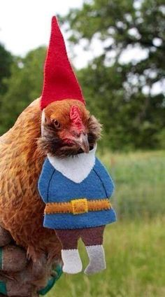 Garden gnome? YES! When searching on Pinterest turns into a goldmine...  Gnome Chicken.