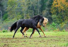 "scarlettjane22: ""  Unbelievably beautiful and emotional. Karachai horses stallion Igibai and Amber Yuliya Dubrovina Photography  """