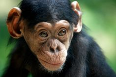 'Chimpanzee' - photo by In Cherl Kim (floridapfe), via Flickr;  at Everland Theme Park and Zoo, South Korea