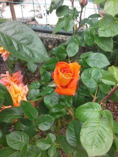 Older rose