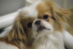 Farrah is an adoptable Pekingese Dog in Maryland Line, MD. Hi, I'm Farrah and I came to ARI as a stray. I'm sweet, petite and like other dogs. Please, no kitties for me. I have luxating patellas that ...