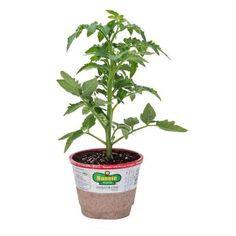 recipe: bush bean seeds home depot [39]