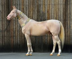 This horse is out of this world! Cremello Akhal Teke