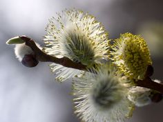 Beyond their decorative benefits, pussy willows play another crucial role in the garden: the blooming catkins are an extremely important source of early pollen for honeybees, helping to stabilize the hives when they are at their weakest after the long winter.