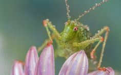Grasshopper - water drops, green, flower, pink, macro, grasshopper, insect