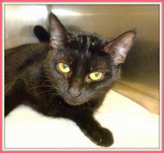 Meet C-57163 Minnie a Petfinder adoptable Bombay Cat | Mount Holly, NJ | Minnie is a very pretty and petite 1-year girl; she has georgeous fur and stunning  golden eyes....