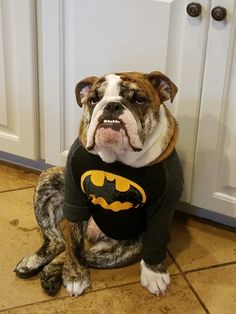 English bulldog dress up Batman bully