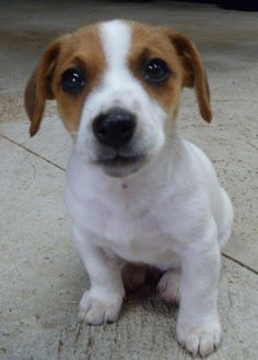Snaffle-it Horse Supplies Baby Dogs, Doggies, Miniature Fox Terrier, I Love Dogs, Cute Dogs, Parsons Terrier, Jack Russell Puppies, John Russell, Parson Russell Terrier