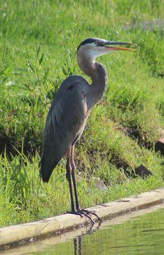 22 Best Virginia Water Fowl Birds And Birds Of Prey Images Birds