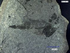 Pleuronectiform non det., Oligocene, Menilith Shales, Bircza, Carpathians, Poland; Photo © oilshale