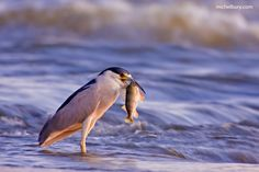 Black-crowned night-heron catching a fish by Michel Bury on 500px