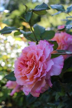 'Augusta Luise' | HT rose. Bred by Hans Jürgen Evers (Germany, 1999). | Flickr - ©  Lilja Sirpale