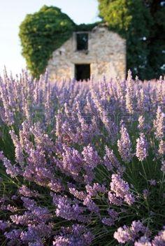 cabine en gebied van lavendel Stockfoto
