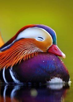 Colorful birds Aix galericulata bird 27 Mandarin Duck Facts You Need to Know Canard Mandarin, Mandarin Duck, Colorful Animals, Colorful Birds, Cute Animals, Small Birds, Animals And Birds, Yellow Birds, Pretty Animals