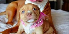Look at this face — this is the face of DANGER: | 26 Of The Most Dangerous Things Pit Bulls Did In 2015