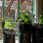Ismét indul a pet palackos paradicsom szezon! | Nagybetűs Élet Gardening, Pets, Lawn And Garden, Horticulture, Animals And Pets