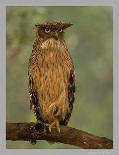 The brown fish owl (Bubo zeylonensis or Ketupa zeylonensis) is an owl. This species is a part of the family known as typical owls, Strigidae, which contains most living owls. It inhabits the warm subtropical and humid tropical parts of continental Asia and some offshore islands.[2]