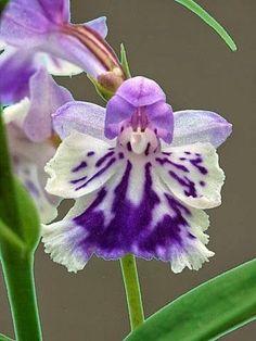 Orchid: Ponerorchis graminifolia...I don't normally like orchids, but these are pretty