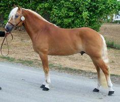 Stellar - Haflinger stallion