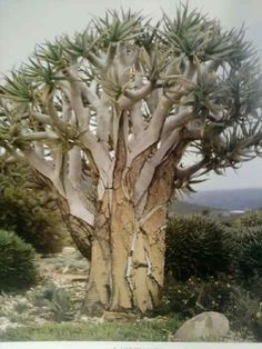 Aloidendron dichotomum (previously Aloe dichotoma) a.k.a. Quiver tree. Native to South Africa. (Succulent) (I think this might be wrong)