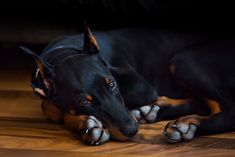 The Doberman Pinscher is among the most popular breed of dogs in the world. Known for its intelligence and loyalty, the Pinscher is both a police- favorite Doberman Pinscher Blue, Black Doberman, Doberman Love, Pet Dogs, Dogs And Puppies, Dog Cat, Pets, Doggies, Weimaraner