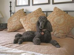 Poodles are the best