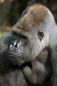 National Zoo's gorilla baby is six months old! by Smithsonian's National Zoo, via Flickr