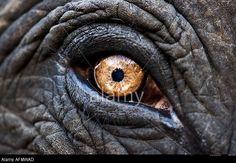 Close up of eye of an Indian elephant Jaipur India © Steve Bloom Images / Alamy Elephant Eye, Indian Elephant, Animal Close Up, Palm Frond Art, Elephant Photography, Animal Photography, Eye Close Up, Eye Sketch, Eye Painting