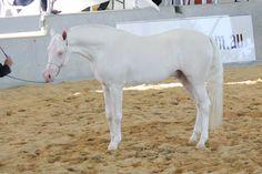 Part bred cremello STOCK - Arabian Gala Event 261 by fillyrox.deviantart.com on @deviantART