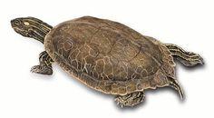 Common Map Turtle 2.jpg (720×398)