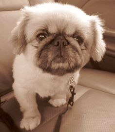 Pekinese/pug cross. So fluffeh!