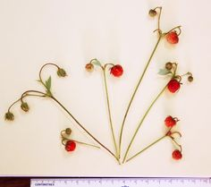 Researchers have discovered a new species of wild mountain strawberry. It grows in the Cascade Mountains of Oregon, at elevations of 3,000 feet to about 5,000 feet.